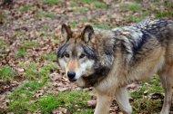 Wolf1_1