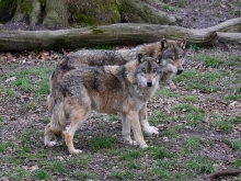 Wolfspaar_0662